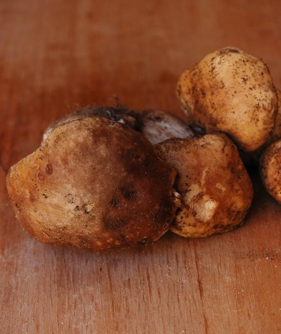 funghi porcini freschi