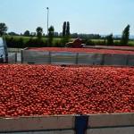 Ancora pomodori rossi, raccolta, trasporto e trasformazione in fabbrica
